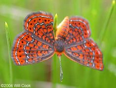 Little Metalmark (Calephelis virginiensis). Males perch on low-growing plants to wait for females. Eggs are laid singly on host plant leaves. Caterpillars rest underneath leaves during the day, emerging at night and on cloudy days to feed.