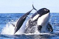 Orcas (Orcinus orca) have been seen off the South African coast hunting their smaller cousins, namely the long-beaked common dolphin (Delphinus capensis). This behavior is not surprising since orcas are apex predators that have extensive diets.  Orca hunting behavior and diet are geographically dependent.   http://www.south-african-hotels.com