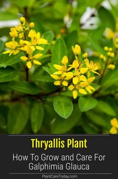 Thryallis: How To Grow and Care For Galphimia Glauca Planting Seeds, Planting Flowers, Drought Tolerant Shrubs, Fast Growing Shrubs, Evergreen Shrubs, Garden Tips, Apothecary, Garden Landscaping, Perennials