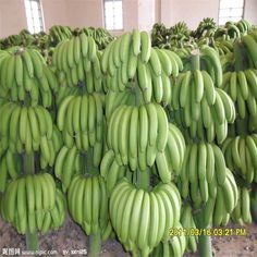 #Banana #fruit in addition to fresh fruit consumption can be used for processing, such as ripe #bananas can be made into #banana flour, used for making pastry and bread.