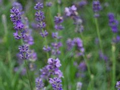 (Lavandula vera) Perennial. Compact, superior Northern-hardy strain. The plants seldom exceed a foot in height.
