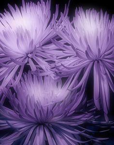 Lavender Mums by Tom McNemar