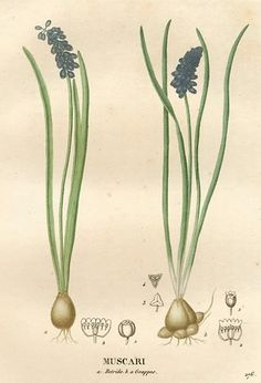 grape hyacinth - essence is useful for shock, despair and stress