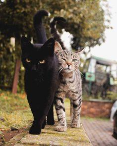 Cat body language: shrug tail and rub chin - Animals - . - Cat body language: shrug tail and rub chin – animals – # Cat& body language - Cute Cats And Kittens, I Love Cats, Crazy Cats, Cool Cats, Kittens Cutest, Kitty Cats, Kittens Playing, Cats Bus, Grumpy Cats