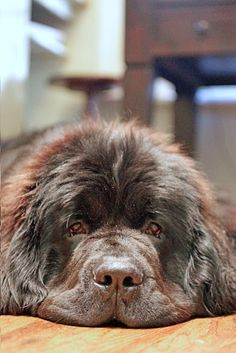 "Trapper looking very ""newfie"" love this boy!!"