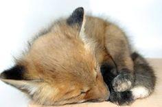 A tiny, newborn fox sleeping on the ground.