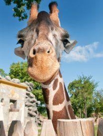 Giraffe! Detroit zoo, here I come!