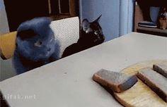 Des chats qui montrent à leurs maîtres qui est le chef de la maison. - watson