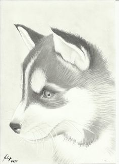Cute Husky Drawing Amazing Wallpapers - Resimkoy