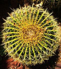 Golden Barrel Cactus-Mexico