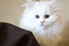 Walllpaper kucing anggora
