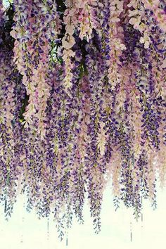 Lavender Wedding Color Palette - Would be beautiful hanging from the entrance. Hanging wisteria floral ceiling in lavender and blush. Lavender Wedding Colors, Lavender Flowers, Lavender Color, Lavender Weddings, Cascading Flowers, Pink Purple Wedding, Lavender Ideas, Colorful Roses, Purple Wedding Themes