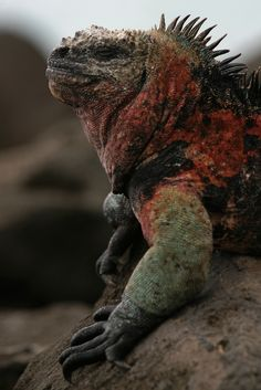 Marine Iguana - the only lizard that swims in the sea -  found in the Galapagos Islands