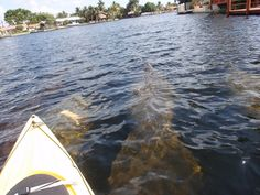 Kayaking with Manatees....Ft Lauderdale. Canoagem no Middle river em Wilton manors by Rachid Brasil, via Flickr