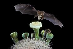 Lesser Long-nosed Bat visiting Saguaro flower at night. Photo:  Merlin D. Tuttle, Bat Conservation International
