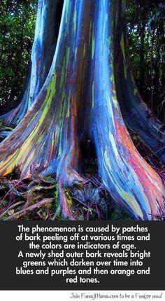 Rainbow Eucalyptus trees on Maui, Hawaii...