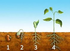 Illustration about The germination process for a bean plant. Illustration of germination, embryo, root - 8456410 Life Cycle Stages, Preschool Garden, Curious Kids, Seed Germination, Plant Growth, Planting Seeds, Life Cycles, Mini Books, Clipart
