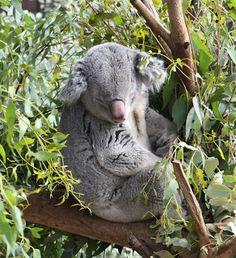 Google Image Result for http://3.bp.blogspot.com/_rqd6DTuStOE/Sjc2LDuV8RI/AAAAAAAAAWo/-GjdTxf0hTo/s320/koala-bear.JPG