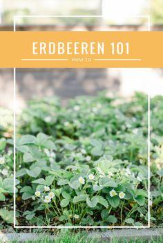 Erdbeeren im eigenen Garten ziehen  - ein kleines How-To  Grow your own strawberries - a little how-to Herbs, Small Balconies, Strawberries, Plants, Lawn And Garden, Herb, Medicinal Plants