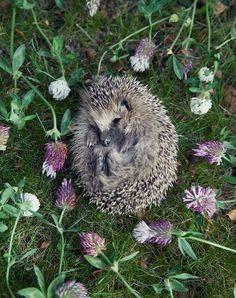 Sleeping hedgehog by Ulrika Kestere Photography