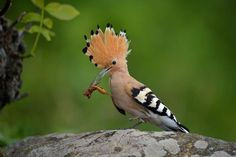 All Newest - Pixdaus   ¤ ¤ Hoopoe ¤ ¤ By: MoreMore