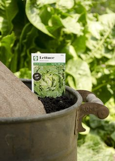 Buttercrunch Lettuce Seed Packets