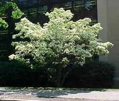 kornus kousa - Google Search Small Trees For Garden, Garden Trees, Small Gardens, Kousa Dogwood, Baumgarten, Exterior, Landscape, Plants, Image