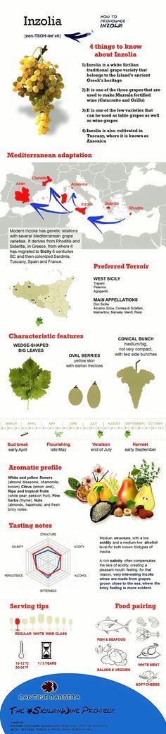Inzolia, white wine grape of Sicily | infographic