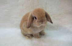 Holland lop ☺️☺️