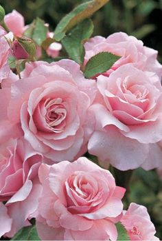 rosecottage.quenalbertini2: Beautiful roses
