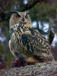 Huuhkaja On Suomen suurin pöllölajimme. Se pesii maassa mieluiten louhikkoisessa kalliomaastossa.