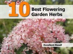 Flowering garden herbs
