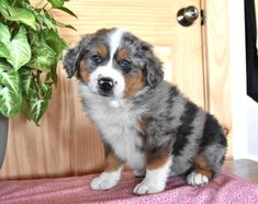Check out these little balls of fluff! 😍Their attractive #AustralianShepherd markings, along with their #WaggingTail, and #DarlingPuppyEyes will have you falling in love with these sweeties!✨🍃 #Charming #PinterestPuppies #PuppiesOfPinterest #Puppy #Puppies #Pups #Pup #Funloving #Sweet #PuppyLove #Cute #Cuddly #Adorable #ForTheLoveOfADog #MansBestFriend #Animals #Dog #Pet #Pets #ChildrenFriendly #PuppyandChildren #ChildandPuppy #LancasterPuppies www.LancasterPuppies.com