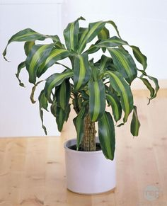 Dracaena fragrans is a fantastic indoor plant that responds well to low light conditions. 'Massangeana' (aka corn plant) stands out as the favorite indoor plant due to its graceful fountain shape and distinctive yellow band that streaks through the middle of each broad, strappy, dark green leaf. It has its own preferred levels of light, humidity, and fertilization for optimal growth. But with the Parrot Flower Power, even a newbie can keep it alive and thriving!