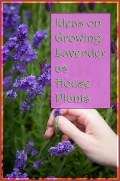 Lavender is a great plants to have as indoor house plants, beautifying the whole house and with pleasant aroma. ** You can find out more details at the link of the image.