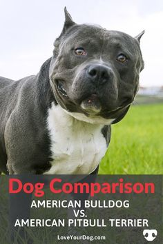 The American Bulldog and the Pit Bull can seem like one and the same. Find out more how they're actually quite different, with different histories, sizes, and personalities! Cute Pitbull Puppies, Dog Comparison, Bull Pictures, Top Dog Breeds, Bulldog Breeds, Dog Information, American Pitbull, R Dogs, Pit Bull Love