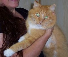 GIANT RINGO!! is an adoptable Maine Coon Cat in Jasonville, IN. Super cat! Afraid of nothing. Loves to play with a super personality more like a dog and cuddle. He has to be watched around doors thoug...