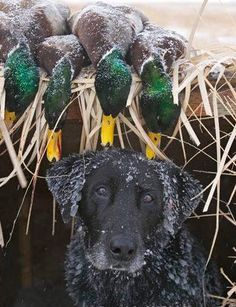 Mind Blowing Facts About Labrador Retrievers And Ideas. Amazing Facts About Labrador Retrievers And Ideas. Waterfowl Hunting, Duck Hunting, Hunting Dogs, Black Lab Puppies, Dogs And Puppies, Puppies Tips, Labrador Retriever Dog, Labrador Puppies, Corgi Puppies