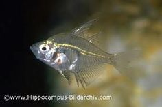 The transparent Indian Glass Fish