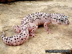 "Snow"" Leopard Gecko morph"