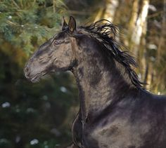 Kladruber stallion, Generalissimo Rosita. photo: Ekaterina Druz.