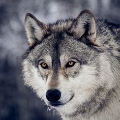 Portrait Of A Wolf | por instinctforfilm