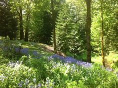 Bluebells in Cowichan Valley...Spring says hello.