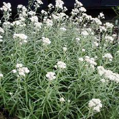 pearly everlasting (host for American lady) Wild Flowers, Plants, Magical Garden, Native Plants, Perennials, Everlasting Flowers, Native Garden, Natural Landscaping, Native Plant Gardening