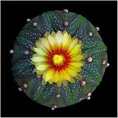 CAC01 | Astrophytum asterias | Richard Reynolds | Flickr