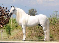 Pura Raza Española stallion, Sirco VII.
