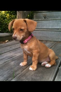 What Does A Chiweenie Dog Look Like