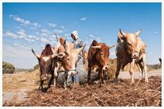 Why mixed crop and livestock farming systems are central for future agriculture development Nature Climate Change, Climate Adaptation, Farming System, Livestock Farming, Animal Agriculture, Greenhouse Gases, Future, Animals, Future Tense