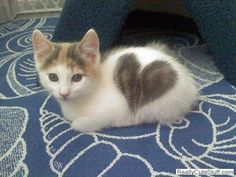 kitten with heart on fur...pretty neato