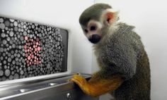 Gene therapy has given two color-blind monkeys the ability to see red. Primates, Web Colors, Colours, Gene Therapy, Teaching Colors, Pictures Of The Week, Genetics, Animal Pictures, Blinds